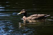 Female Mallard on Pond