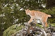 Siberian Lynx (Juvenile)