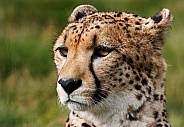 Cheetah Close Up