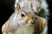 Grey Squirrel Macro