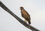 Harris hawk sitting on a wire