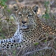 An adult female leopard (Panthera pardus)