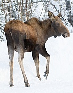 Moose Calf in Winter