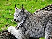 Canadian Lynx scratching a log