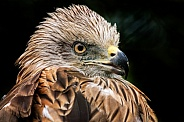 Black Kite Close Up