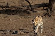 A male leopard walking in Kgalagadi