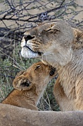 Lion cub and Lioness - Botswana