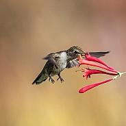 Hummingbird:  Good to the Last Drop