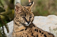Young Serval Sitting In Sunshine