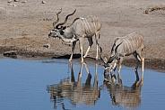 Two male Kudu Antelope - Namibia