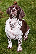 Female Springer Spaniel