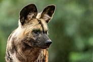 African Wild Dog Face Shot Close Up