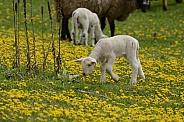Sheep & Spring Lambs