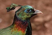 Himalayan Monal Close up