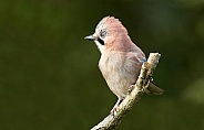 The beautiful Jay Bird