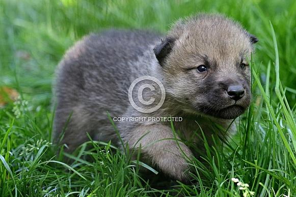 hudson bay wolf pup