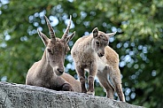 mother and child Alpine Ibex