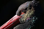 Colourful black stork