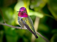 Anna's Hummingbird Male