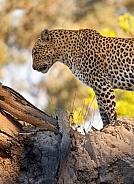 Leopard - Okavango Delta - Botswana
