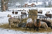 Farming - Livestock feeding in winter snow