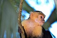 Capuchin Monkey 5
