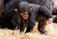 Baby Chimpanzee Making A Nest