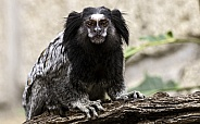 Black Tufted Marmoset Sat On Branch