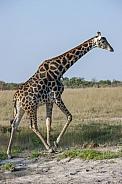 Giraffe walking in Savuti - Botswana