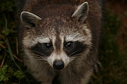 Raccoon Face Shot