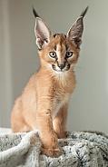 Caracal Cub