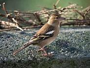 Chaffinch - Female bird - Fringilla coelebs