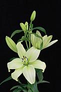 Cream Lilly