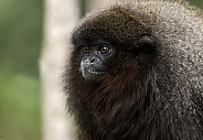 Red Titi Monkey Close Up