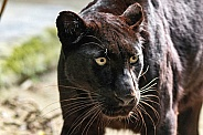 Black Leopard Close Up