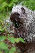 Juvenile Porcupine Eating Leaves