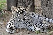 Persian Leopard Cub