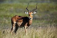 Male Impala - Okavango Delta - Botswana