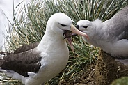 Black-browed Albatross mother feeding young
