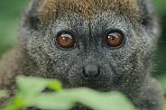 Alaotran Gentle Lemur (Hapalemur alaotrensis)