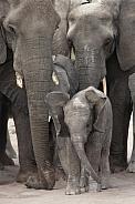 Baby Elephant - Kalahari Desert - Botswana
