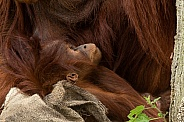 Young Orangutan, looking up, side profile