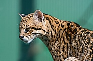 Female Ocelot
