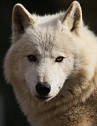 Hudson bay wolve