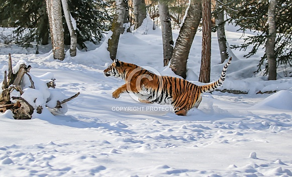 Siberian tiger (please note, not detailed close up)