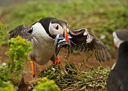 Atlantic Puffin Landing with Sand Eels