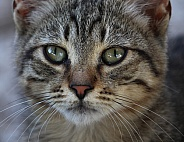 Domestic Kitten Close Up
