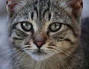 Domestic Kitten Close Up