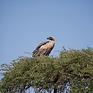 White-backed Vulture 2