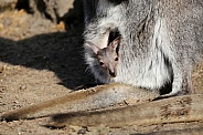Wallaby joey in pouch